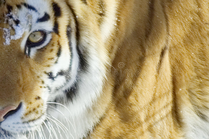 Tiger. Closeup