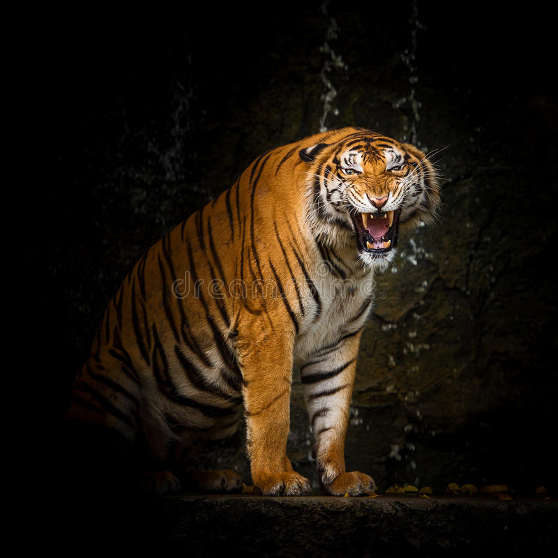 Free Tiger Royalty Free Stock Photography - 90778487