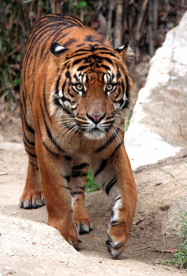 Tiger. Stalking His Next meal royalty free stock images