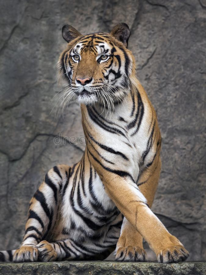Tiger action. royalty free stock image