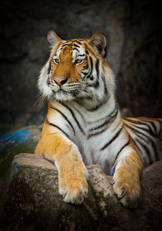 ฺBig Tiger action. royalty free stock images
