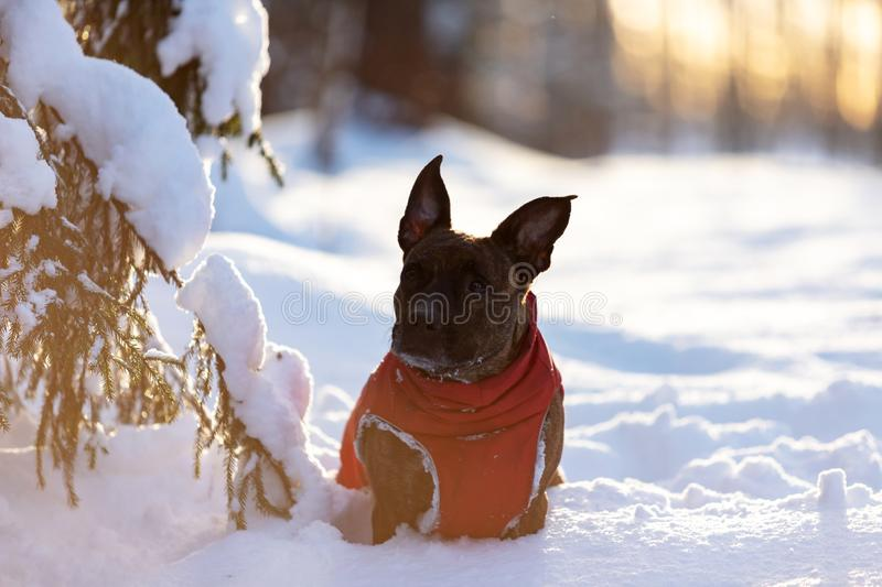 Serious tiger dog walks outdoor at winter royalty free stock photography