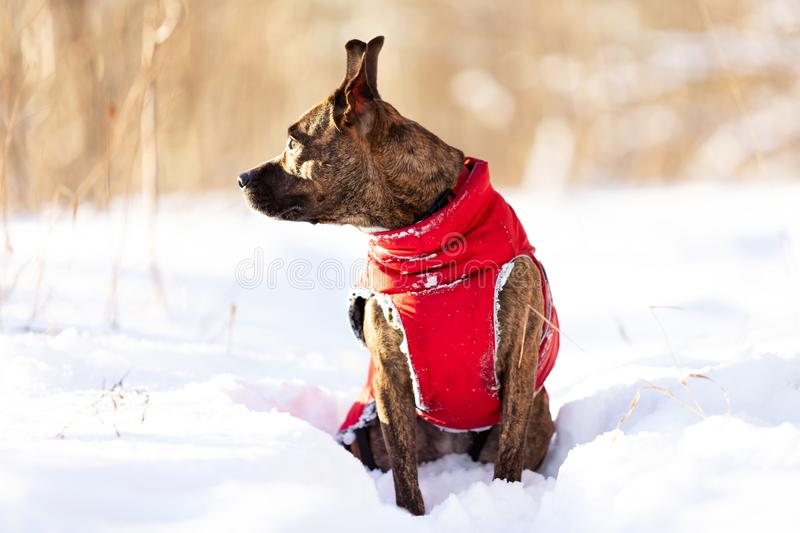 Serious tiger dog walks outdoor at winter stock images