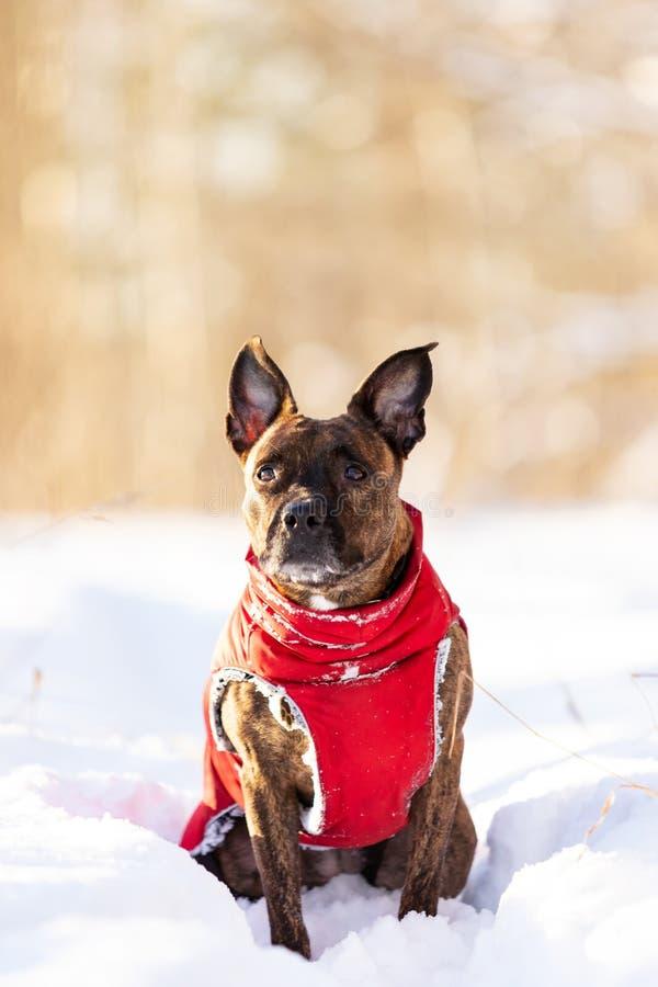 Serious tiger dog walks outdoor at winter royalty free stock image