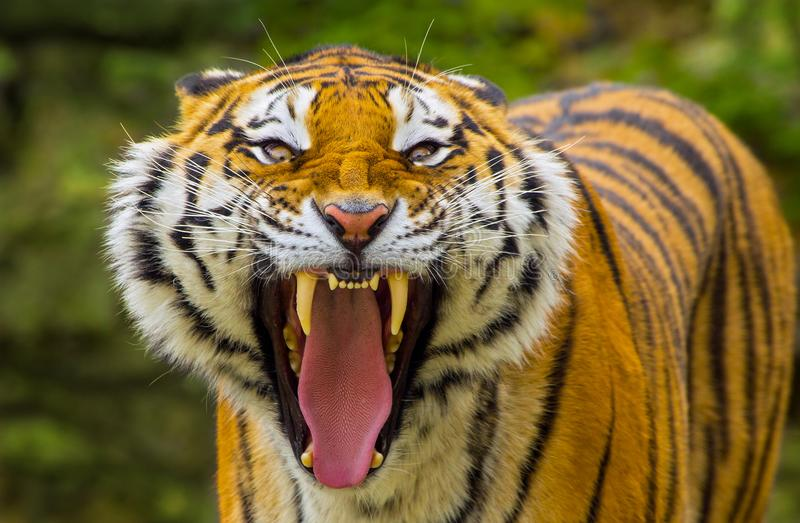 Tiger angry stock photo