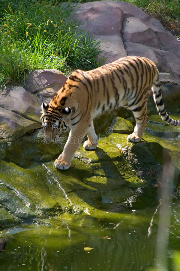 Free Tiger Approaching A Pond Royalty Free Stock Image - 349236