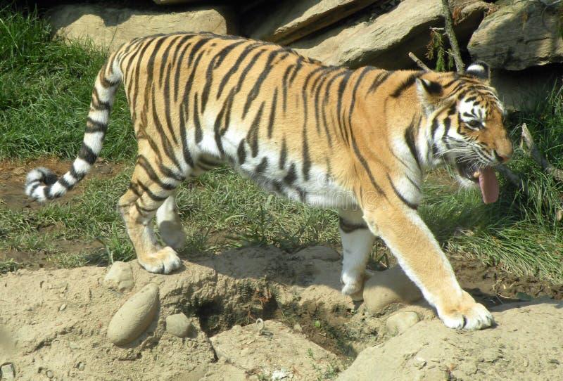 Tiger auf dem Prowl lizenzfreie stockbilder