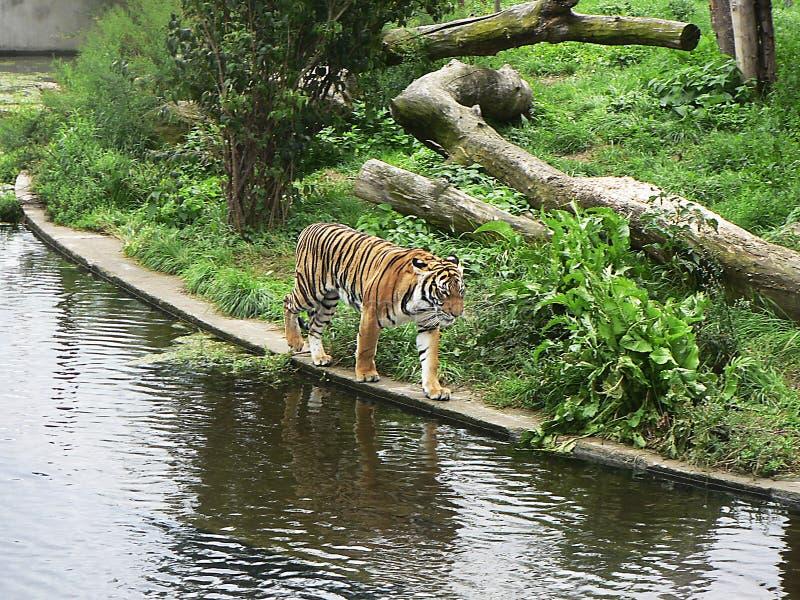 Tiger auf dem Wasser stockfotos