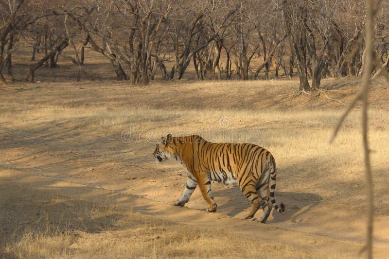 Tiger auf Spaziergang, Nationalpark Ranthambore, Indien stockfotografie