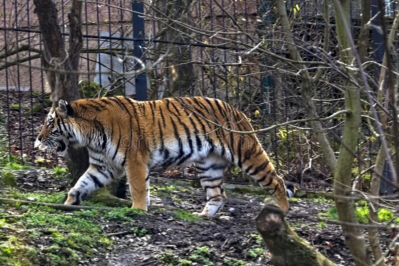 Tiger in the aviary at the zoo.  royalty free stock images