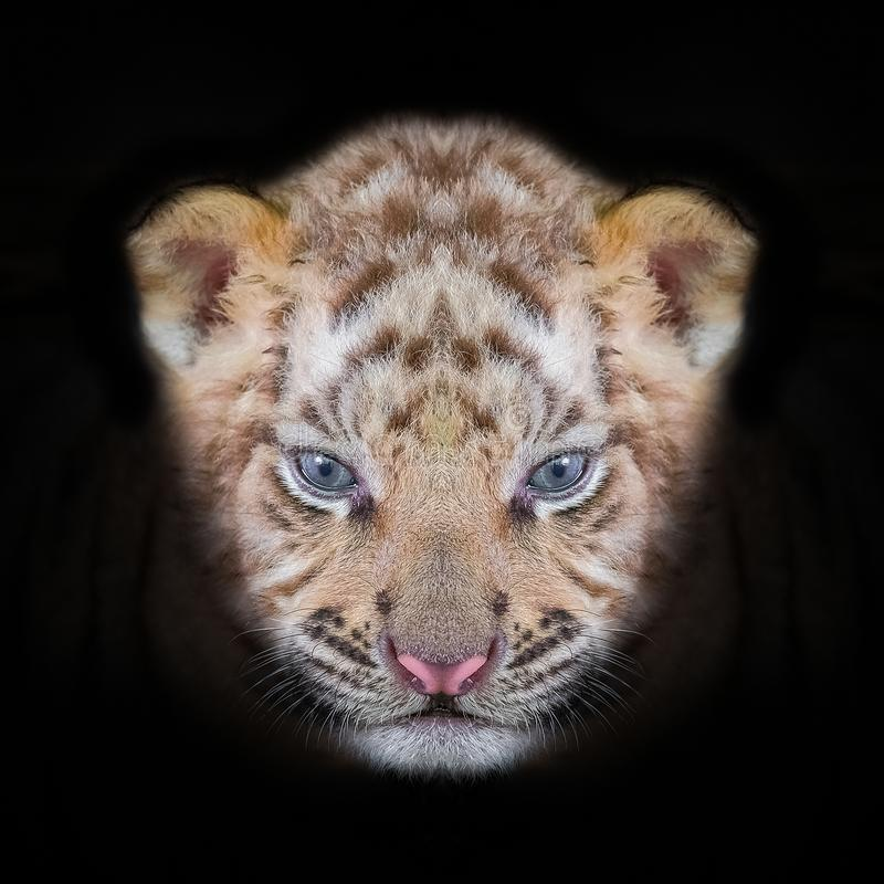 Tiger baby portrait of bengal tiger. Tiger baby portrait of a bengal tiger royalty free stock photography