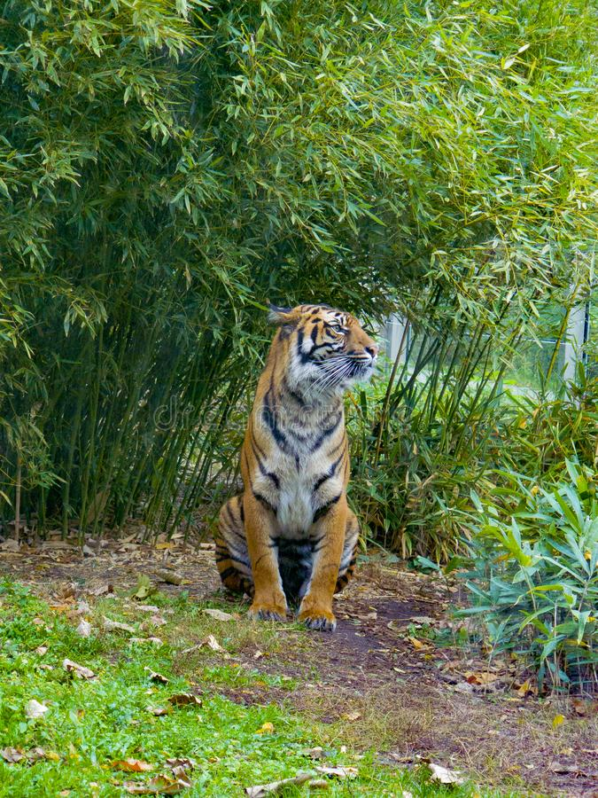 Tiger on a background of green vegetation. stock photos
