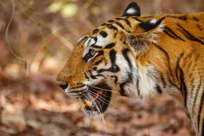 Tiger Bandhavgarh India. Tiger walking in the forest of Bandhavgarh National Park in India royalty free stock photography