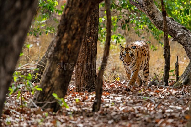 Tiger Bandhavgarh India. Tiger walking in the forest of Bandhavgarh National Park in India stock images