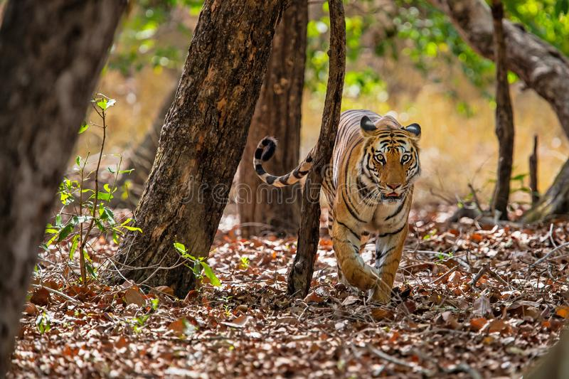 Tiger Bandhavgarh India. Tiger walking in the forest of Bandhavgarh National Park in India royalty free stock photo