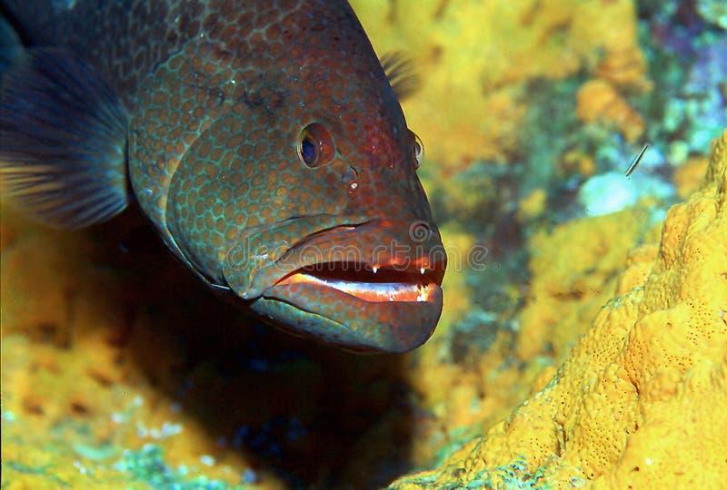 Download Tiger-Barsch II stockbild. Bild von groupers, großartig - 26367