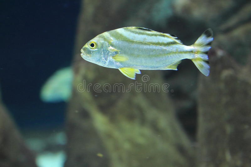 Tiger bass. The tiger bass alson known as target fish stock photography