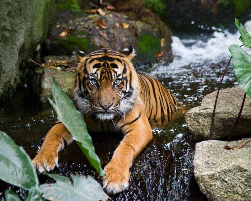 Tiger - Bathing stock photo