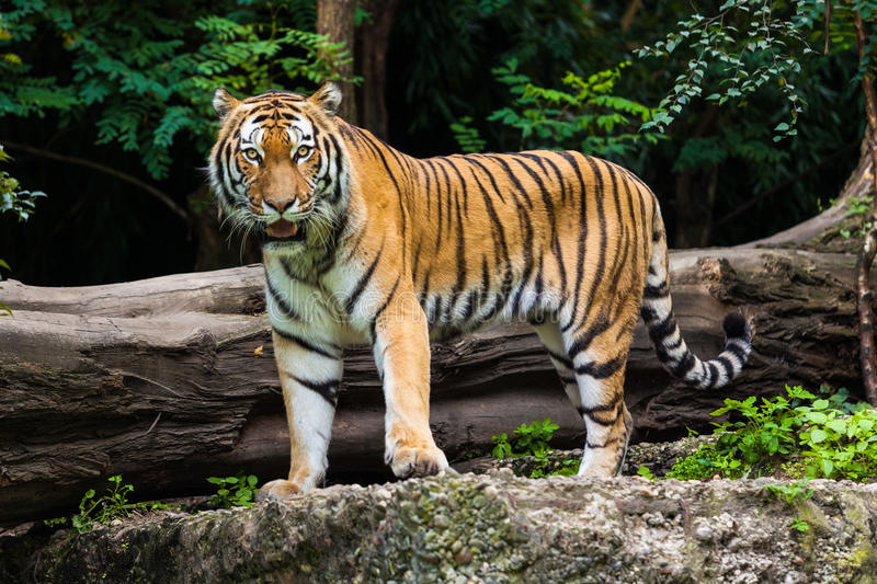 Tiger. Beautiful  Portrait.  in the wild stock photography