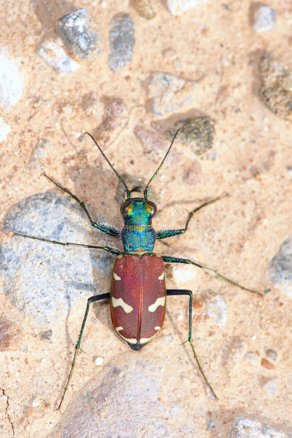 Download Tiger beetle stock photo. Image of wildlife, nature, insects - 25544418