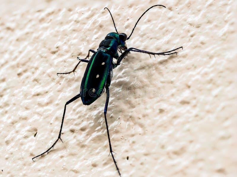 Tiger Beetle immagine stock libera da diritti