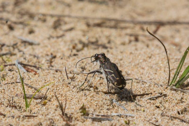 Download Tiger Beetle Bordé Obliqued Image stock - Image du sable, couleur: 45361321