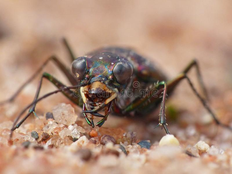 Tiger Beetle On Red Sand-Abschluss oben stockfotografie