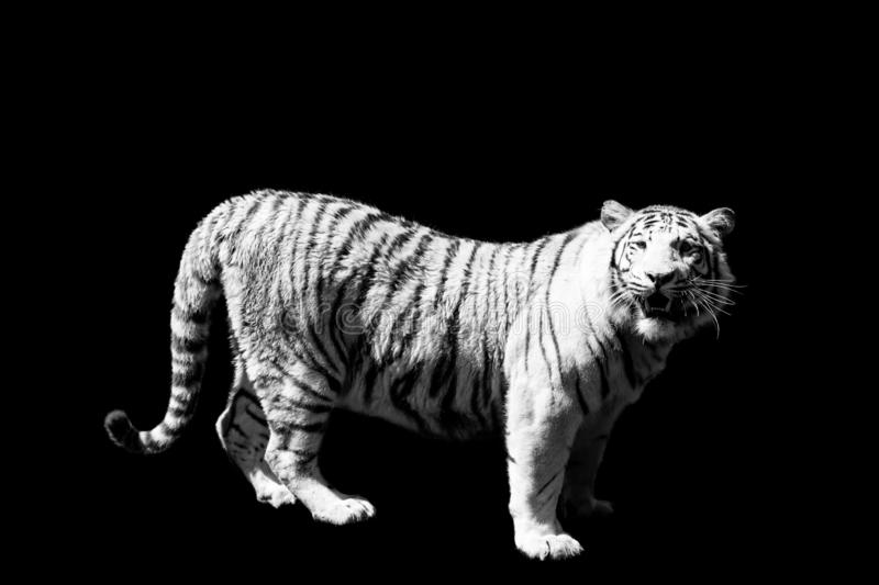 Tiger on black background royalty free stock photos