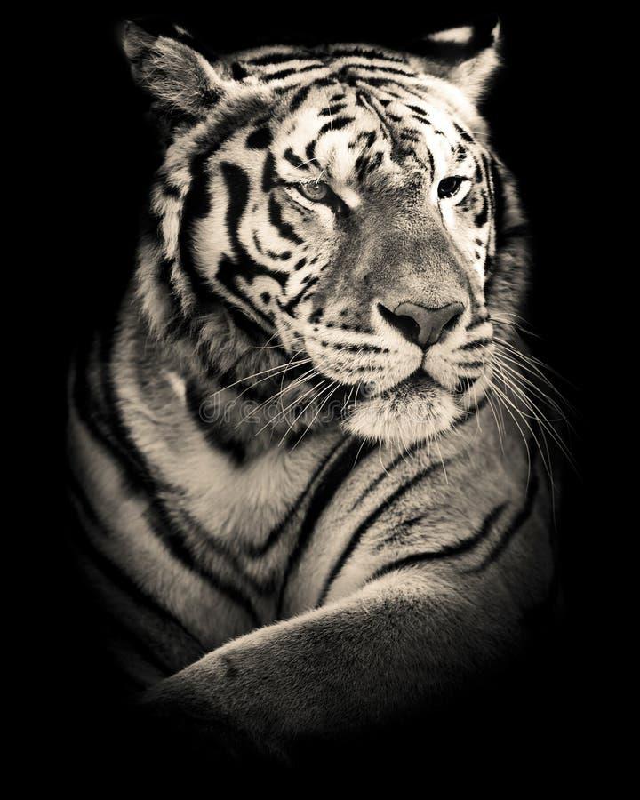 Tiger black and white portrait. Siberian tiger black and white portrait stock images