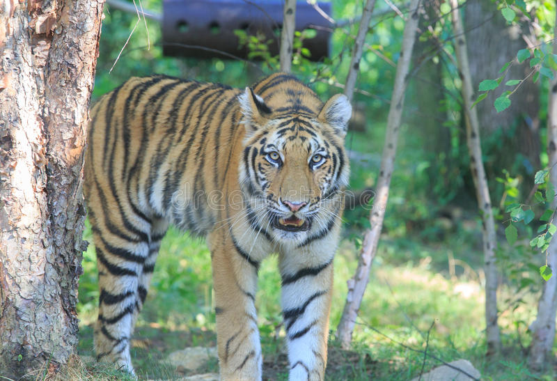 Tiger. From Bronx Zoo 2013 royalty free stock photo