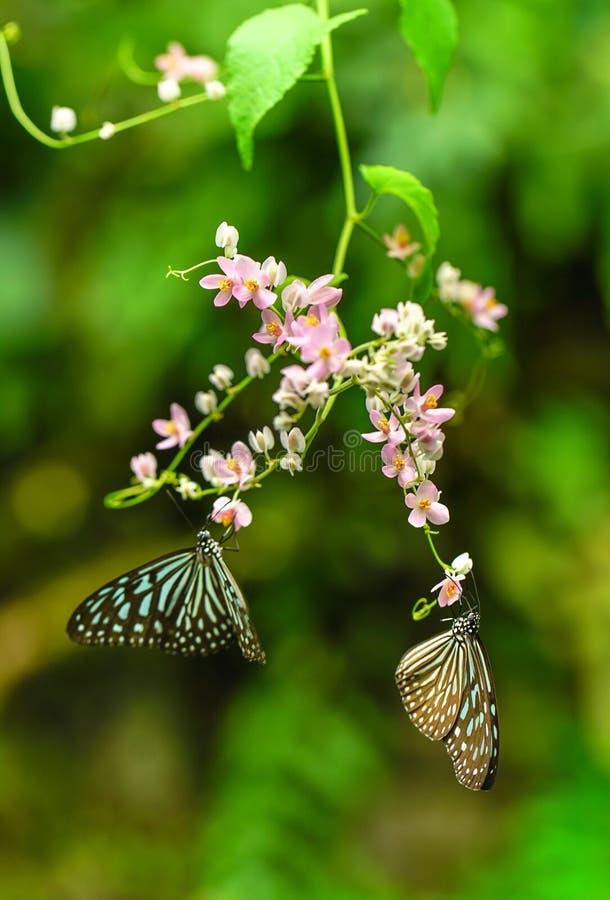 Tiger Butterflies vetroso blu in un giardino fotografia stock libera da diritti