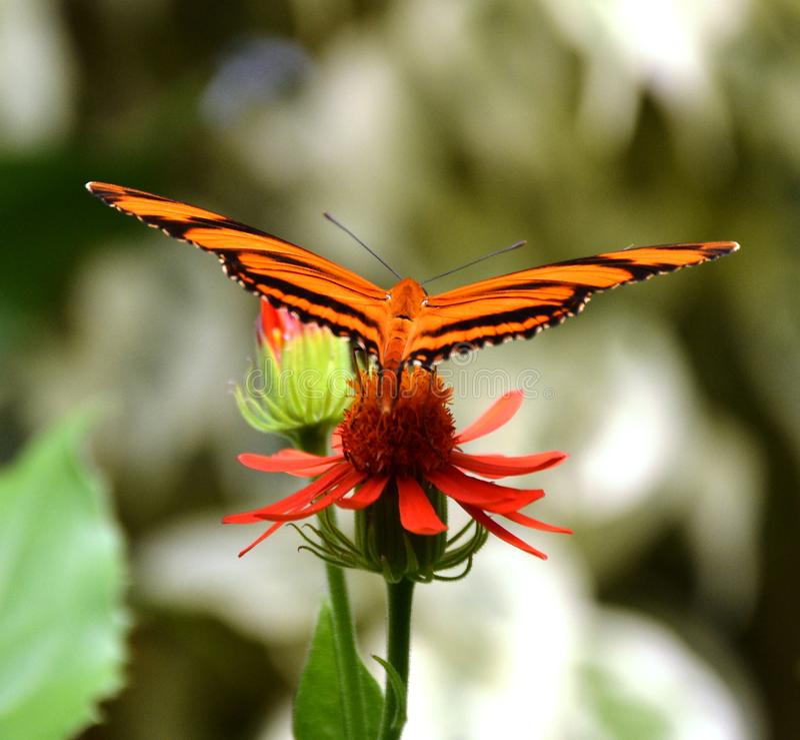 Tiger Butterfly imagem de stock
