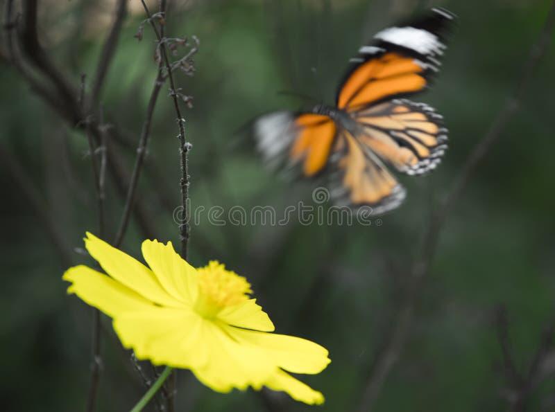 Tiger Butterfly bleu au Kerala photos libres de droits