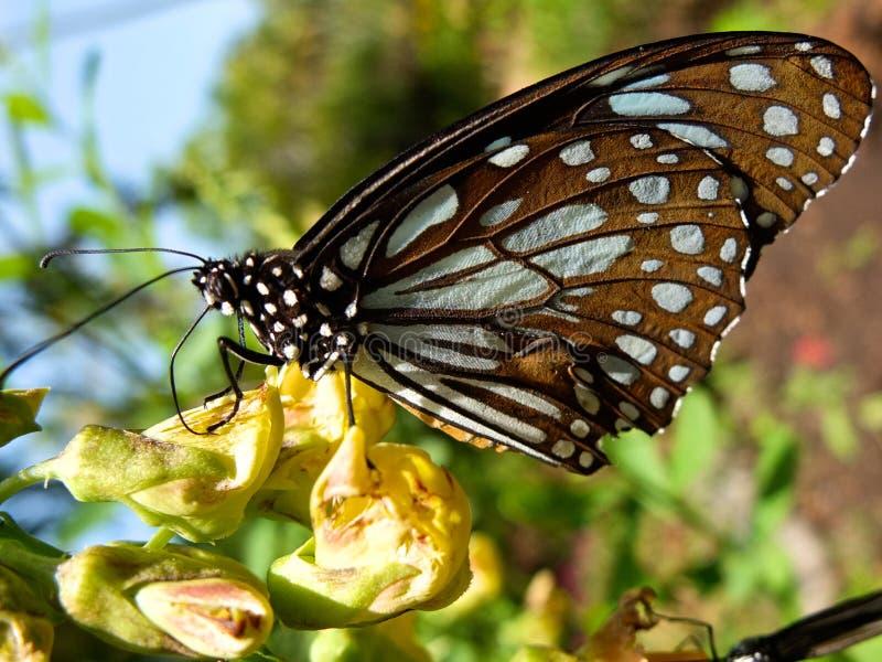 Tiger Butterfly bleu au Kerala images libres de droits