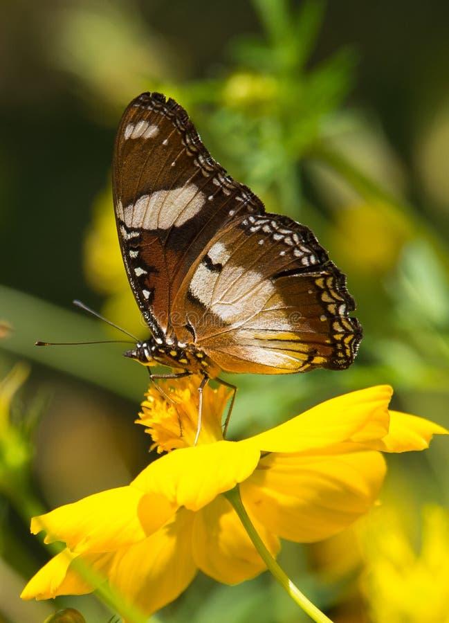 Tiger Butterfly bleu au Kerala photo libre de droits