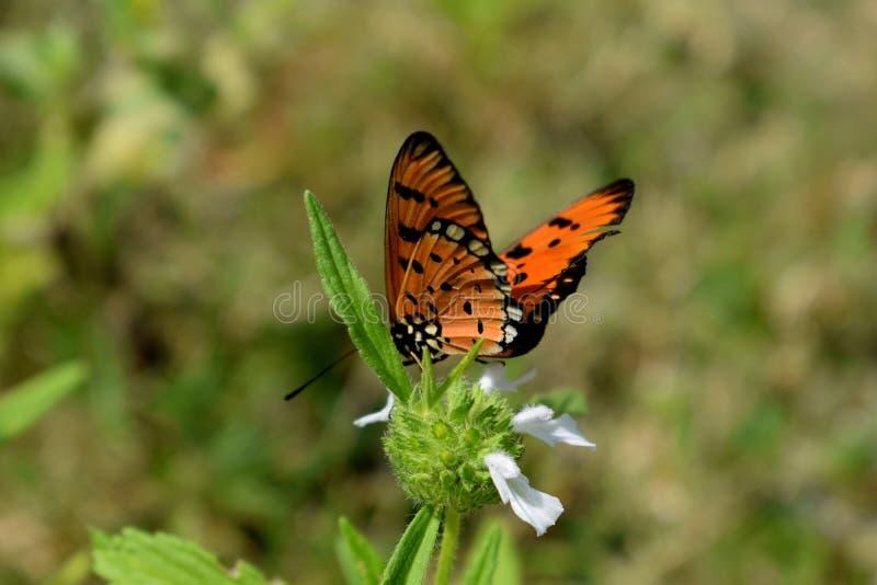 TIger Butterfly comune immagini stock libere da diritti