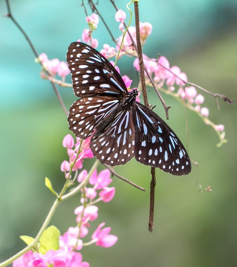 Tiger Butterfly vitreux bleu dans un jardin images stock