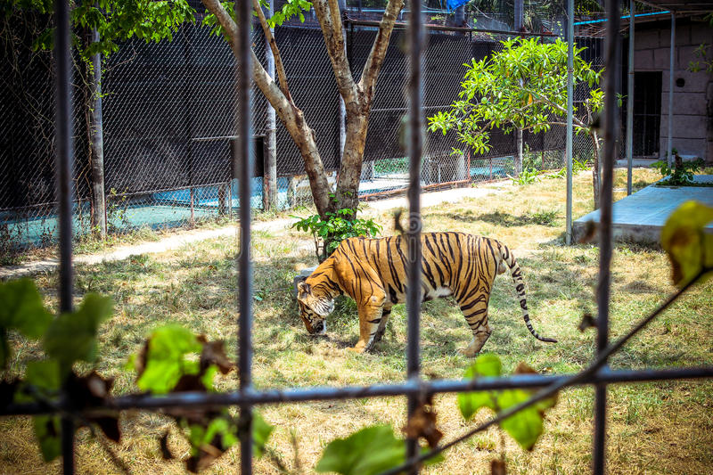 Tiger in a cage at the zoo stock image