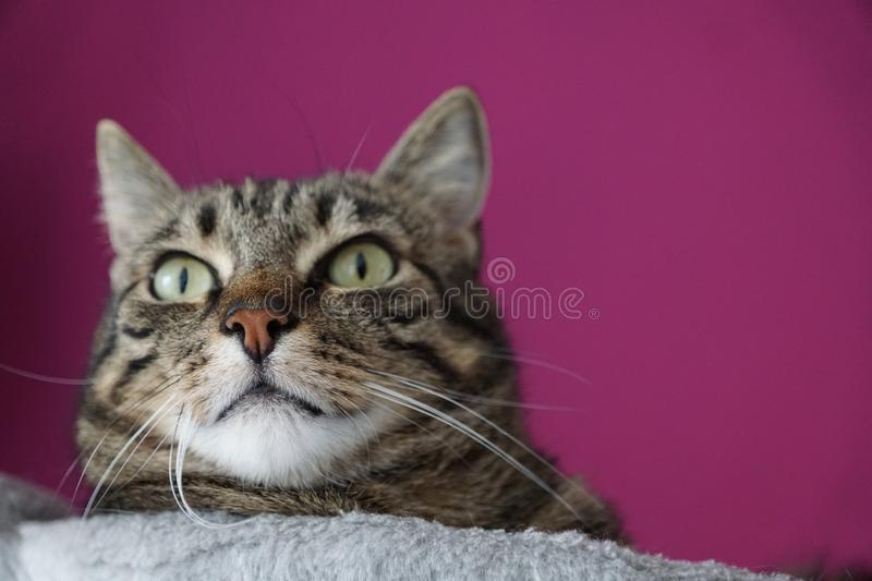 Tiger cat face. On a tree with lila background on a tree royalty free stock image