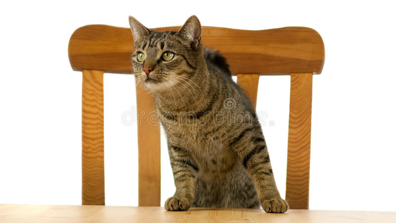 Tiger cat is waiting at table for food stock photo