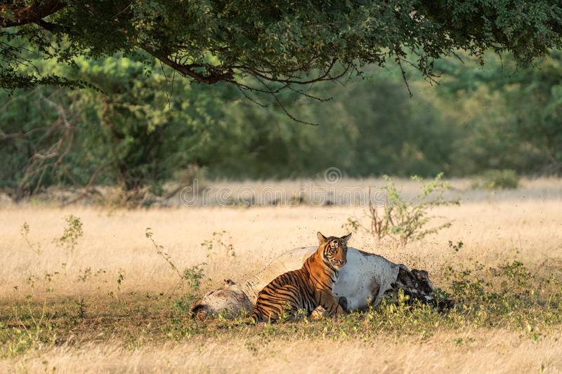 Tiger with cattle kill. A conservation issue tiger cubs with cow kill or domestic animal in core area of ranthambore national park. Tiger with cattle kill. A stock photography