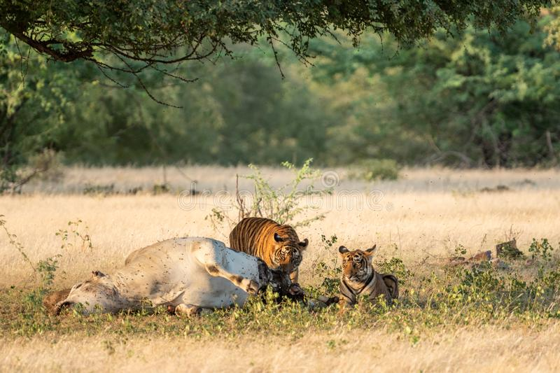 Tiger with cattle kill. A conservation issue tiger cubs with cow kill or domestic animal in core area of ranthambore national park. Tiger with cattle kill. A royalty free stock photos