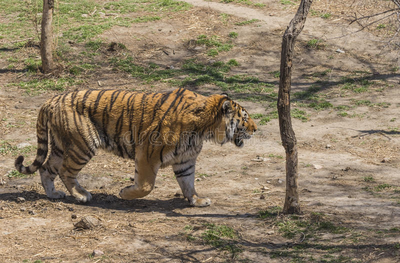 Tiger. China's jilin province changchun wildlife park the east-northern tiger, it is the least amount of survival in the tiger population stock photo