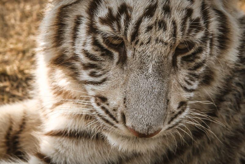 Tiger Close blanc  images libres de droits
