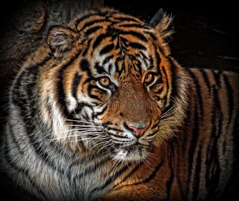 Tiger. Close Up Endangered Sumatran Tiger Portrait stock photo
