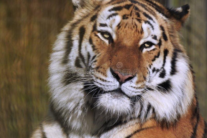 Tiger Close Up Face en Hoofd stock foto's