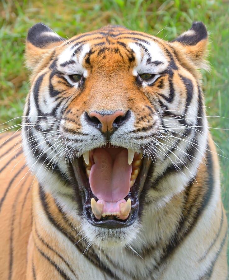 Tiger close-up of face. At zoo stock photos