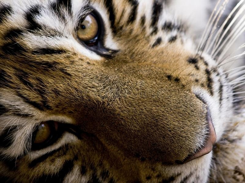 Tiger close-up portrait stock image