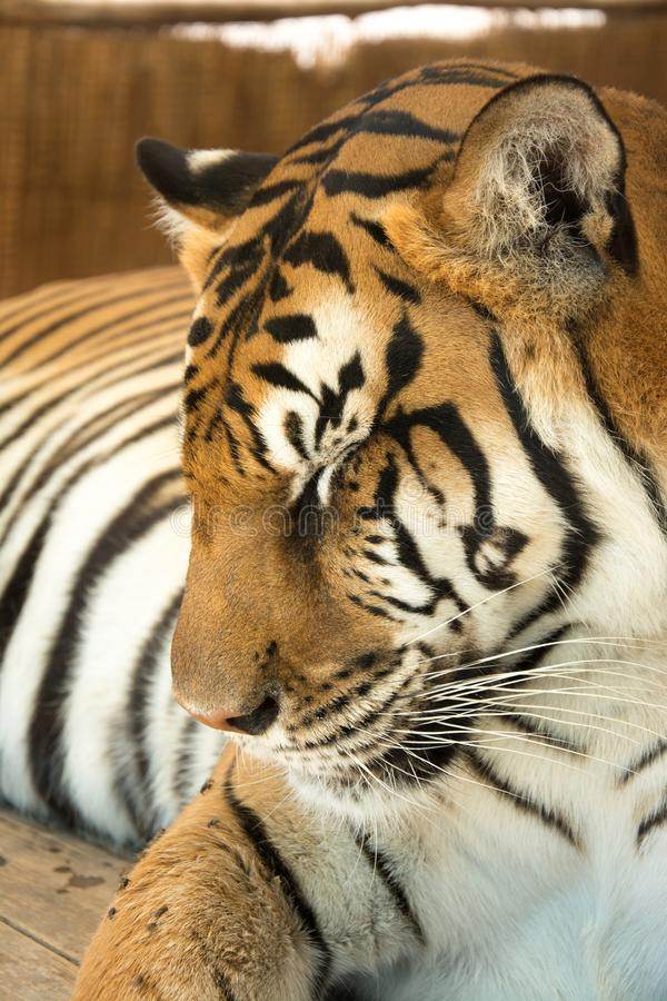 Tiger Close Up Portrait. In zoo stock images