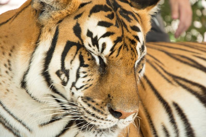 Tiger Close Up Portrait royalty free stock image